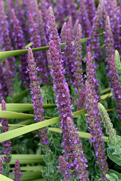 Nepeta tuberosa - Buy Online at Annie's Annuals